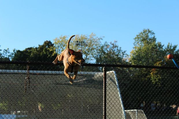 Pit bull Chester jumping over a fence in Trenholme Park, Montreal. Photo by Alex Hutchins.