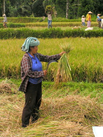 Separating the rice from the stalks