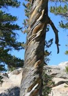 Twisted Fibers in Timbers
