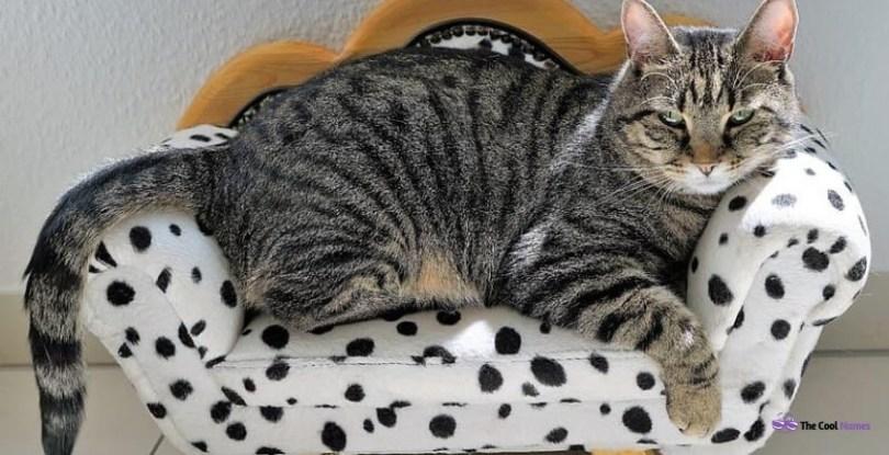 Coat Patterns of Tabby Cats