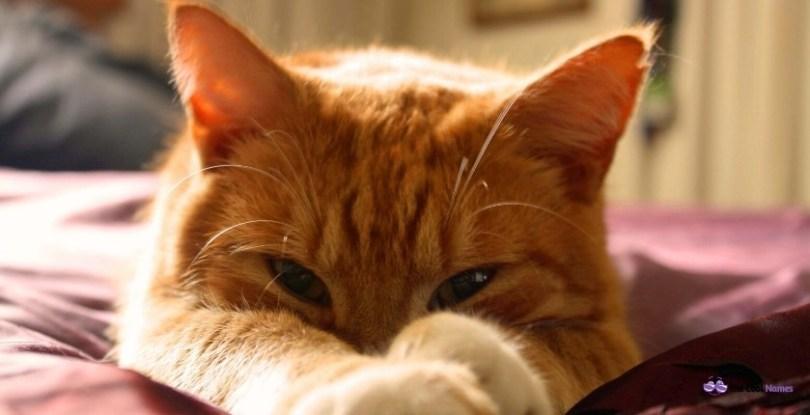 Male Orange Cats