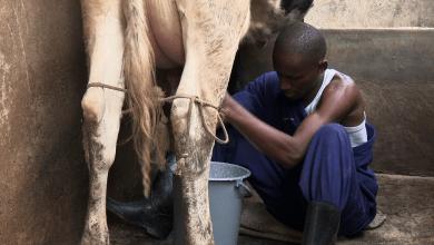 A milk man takes on his task
