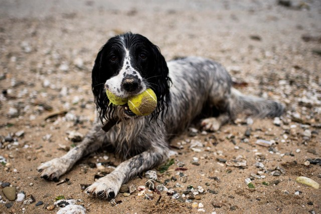Woody and Millie Spaniels | The Cornish Dog