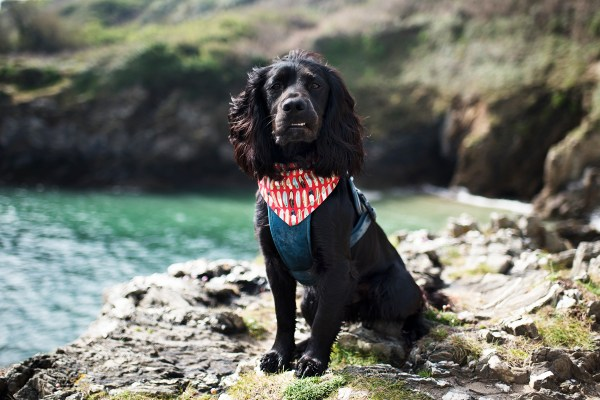 Surf Pup Bandana | The Cornish Dog