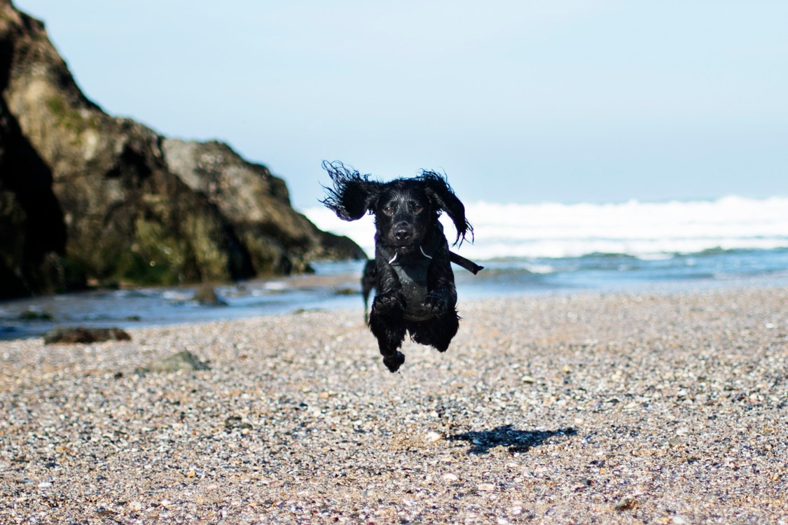 In Defence of Cornwall's Dog Ban   The Cornish Dog