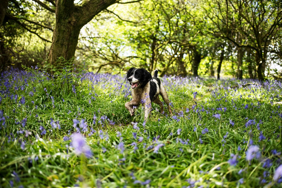 Spaniel Running Through Bluebells | The Cornish Dog