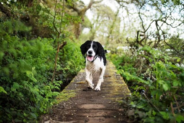 Foster Dog Enjoying a Walk | The Cornish Dog