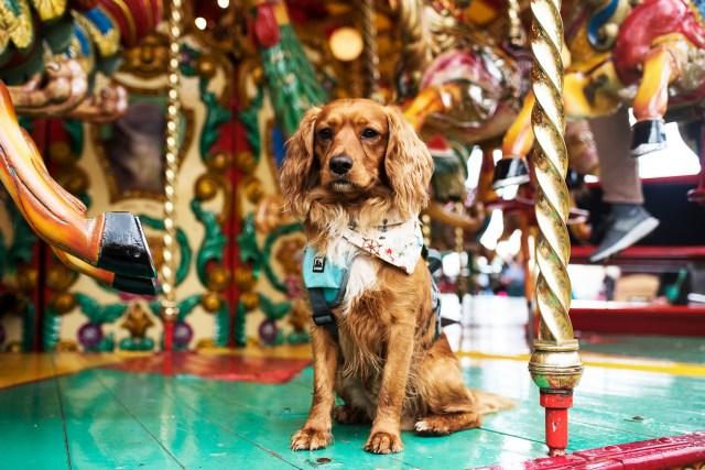 The Royal Cornwall Show   The Cornish Dog