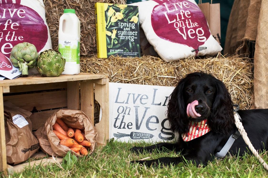 Woody Enjoying Riverford Organic Carrots | The Cornish Dog