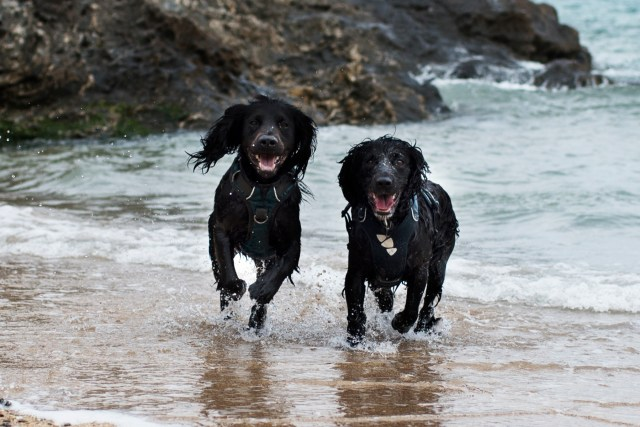 Woody and Snoop Enjoying Polly Joke Beach | The Cornish Dog