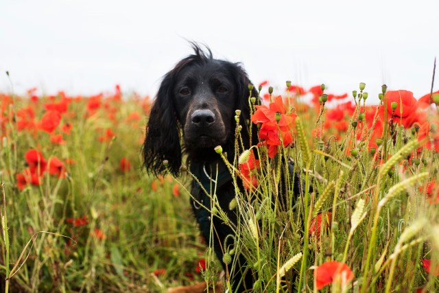 Polly Joke Poppies | The Cornish Dog