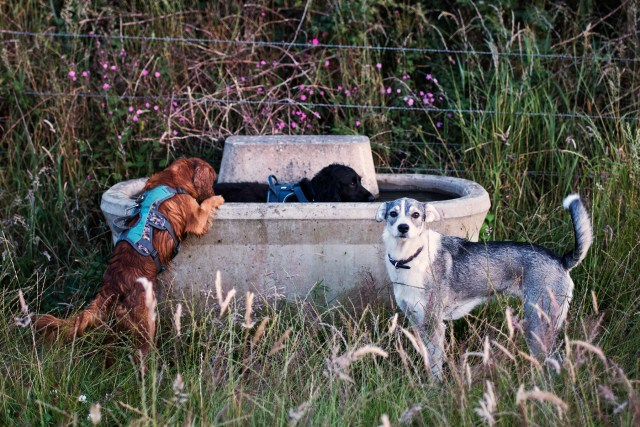 Hen, Snoop and Shadow Drinking from the Trough | The Cornish Dog