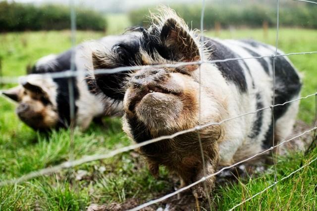 Pigs on the Farm | The Cornish Dog