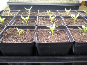 Small seedlings up close