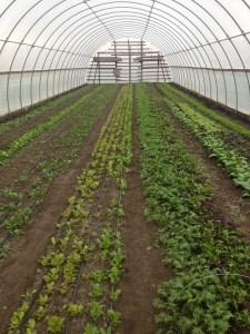 Hoop house early lettuce