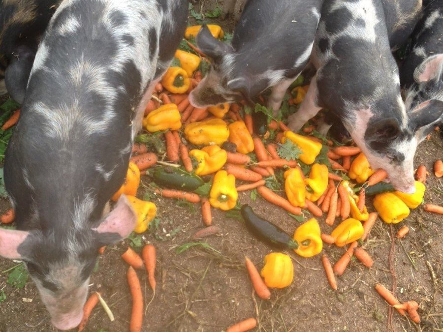 Now taking orders for pigs and chickens