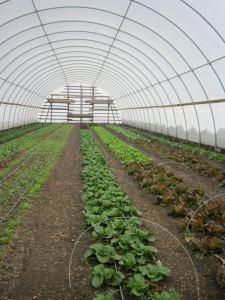 Lettuce in hoop house