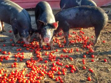 Pigs eating cherry tomatoes