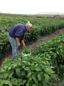 Picking peppers