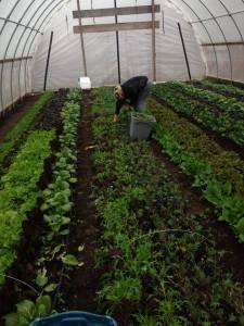 Harvesting in the hoop house