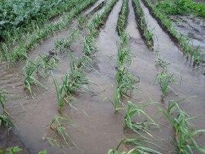 Flooded onion field