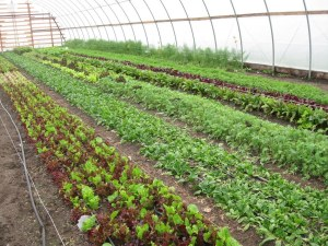 Lettuce and greens in the hoop house