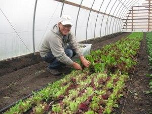 Lettuce in the hoop house