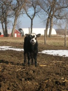Rowdy the cow