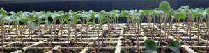Seedlings in a tray (1200×307)