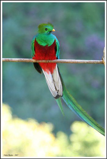Resplendent Quetzal. Costa Rica.