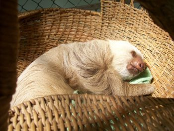 sloth at rescue center