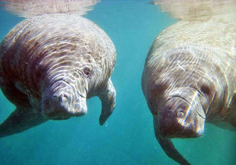 A study of manatees
