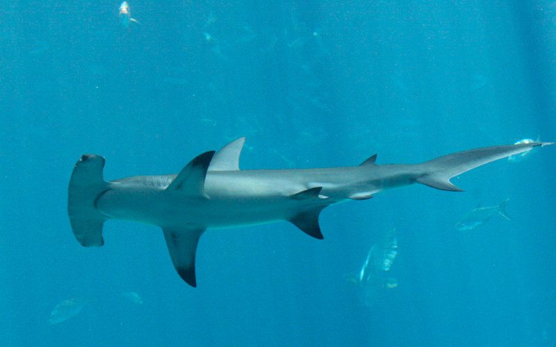 Costa Rica and Ecuador Pushing for Increased Hammerhead ...
