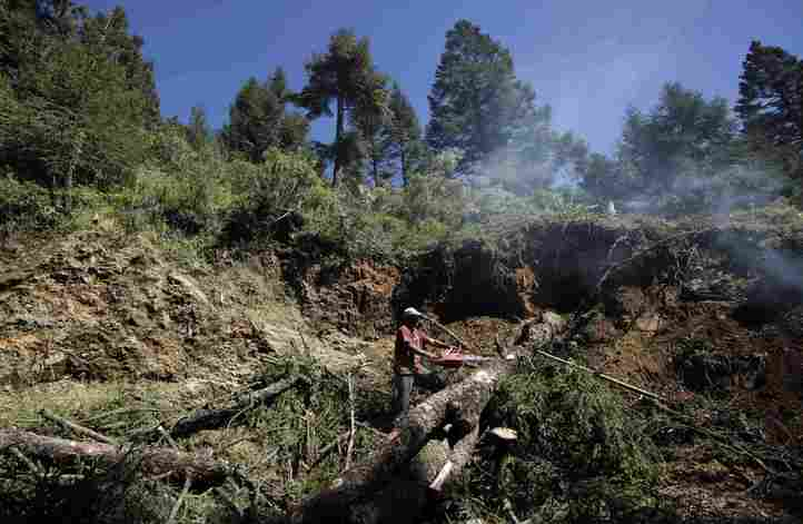 In this photo taken Oct. 16, 2009, a man cuts down a tree in the Monarch butterfly reserve near Ocampo, Mexico. After decades of trying to stop logging in Mexico's Monarch butterfly reserve, biologists and park workers are having to cut down thousands of fir trees themselves, to combat an unprecedented infestation of bark beetles they say may have been unleashed by climate change. (AP Photo/Gregory Bull)