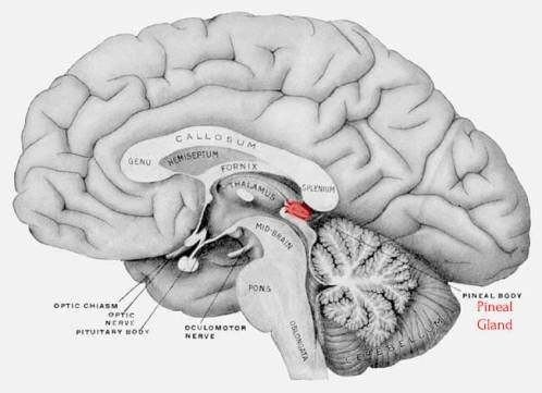 The Importance of Your Pineal Gland For Over-All Health and Well ...