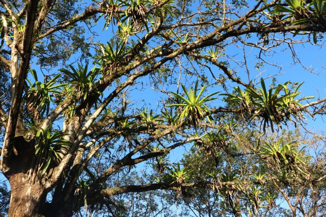 There are lots of beautiful trees with orchids in Costa Rica.