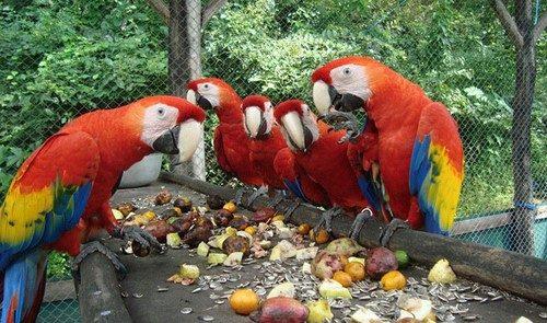 macaws costa rica
