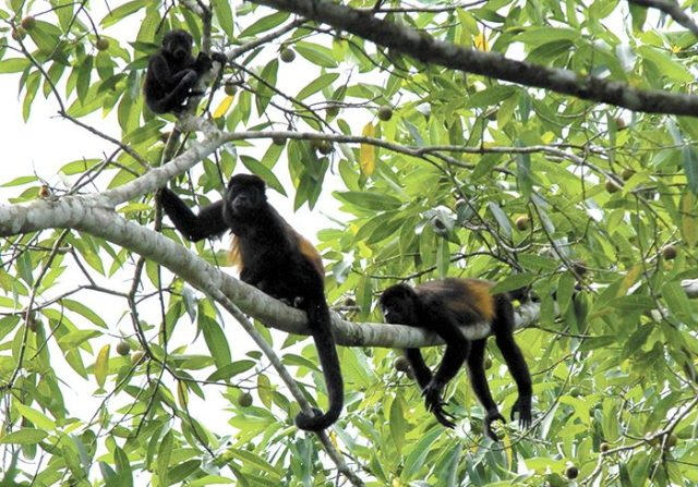 Monkey Congo families living in the park