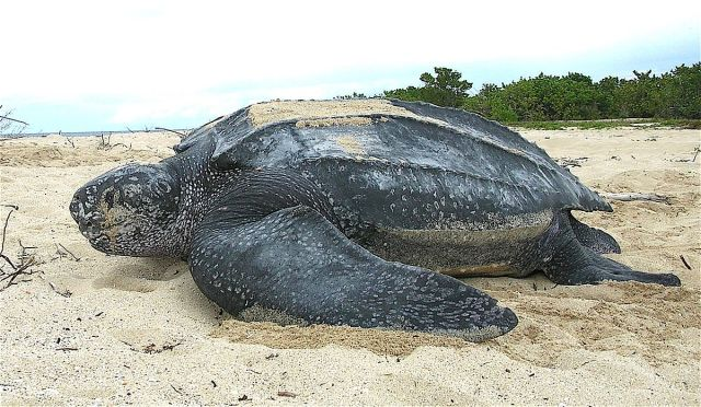This is one of the largest sea turtle species.