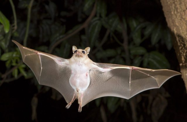 White bats are one of the many specia of bats.