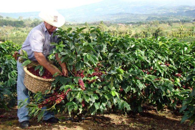 Coffee beans harvest