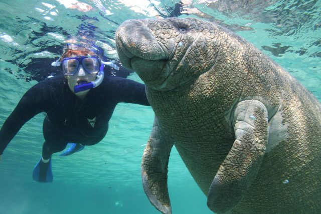 Manatees are friendly and non-aggessive animals.