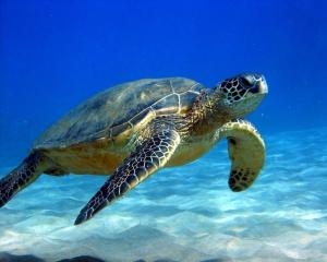 Sea turtles are among the heaviest species of turtles.