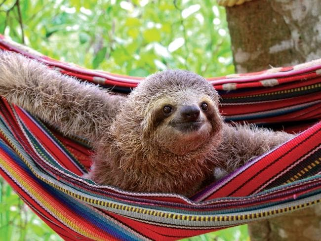 Hamaca's sloth