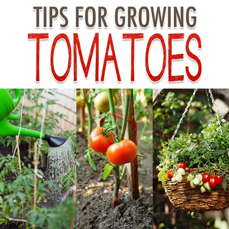Tips for Growing Tomatoes {Tomato Garden Tips}