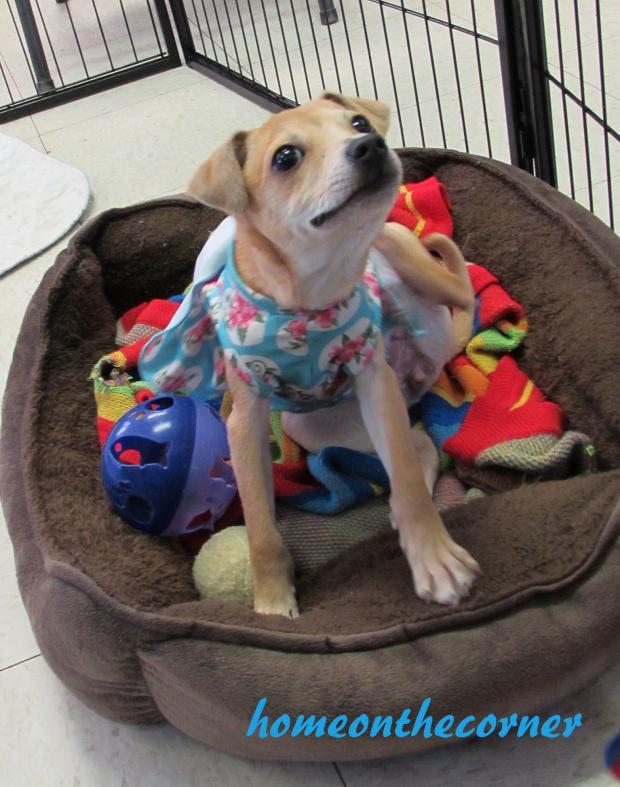 animal-shelter-volunteer-dog-cutie-hannah