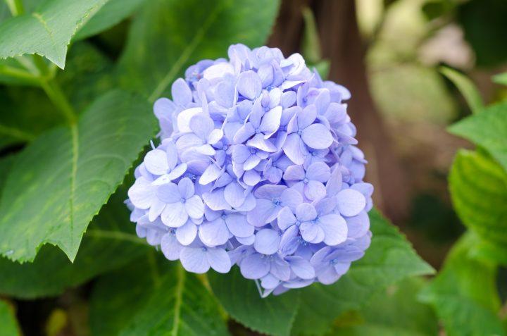 These hydrangeas look like lavender snowballs