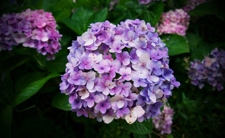 control the color of you hydrangeas by controlling the ph balance in your soil