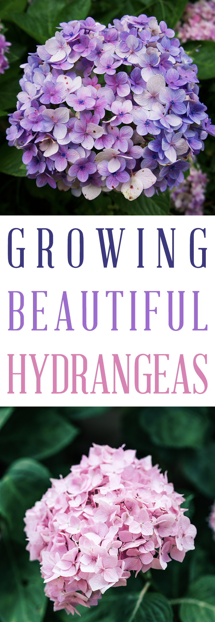How to Grow the Perfect hydrangeas - Easy tips for planting and growing hydrangea flowers