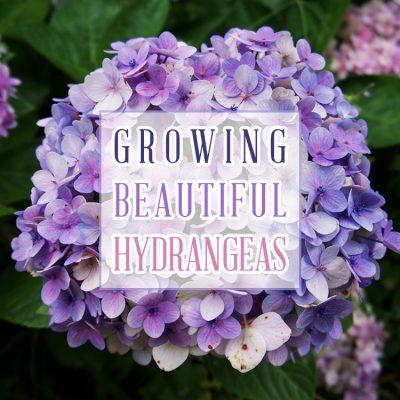 Growing Beautiful Hydrangeas